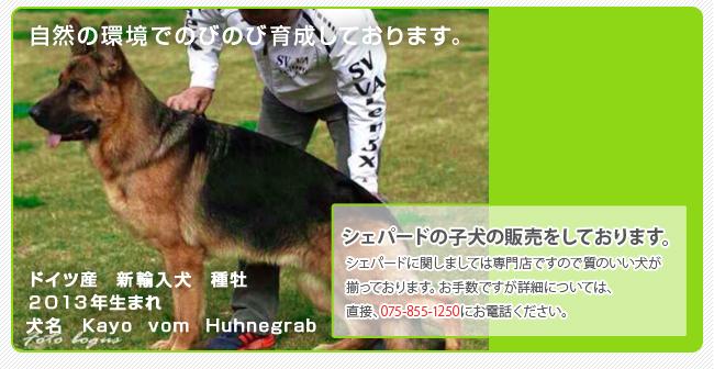 シェパード子犬の販売・訓練|京北ドッグスクール